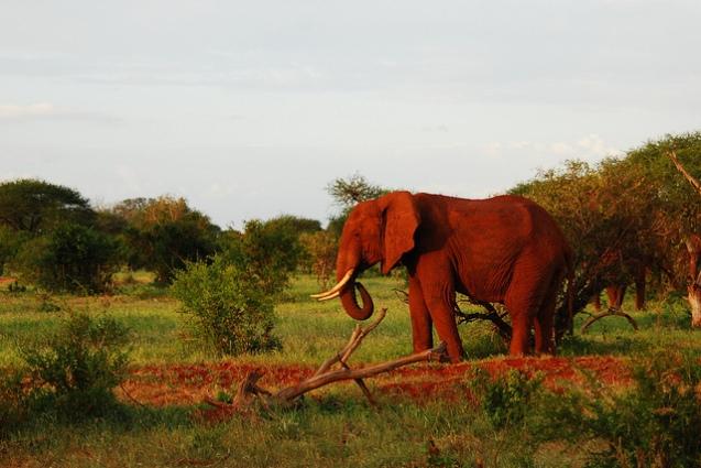 red elephant elephants tsavo kenya africa 1