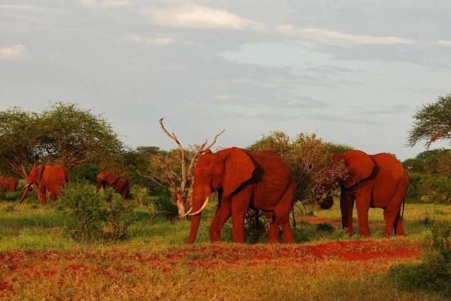 red elephant elephants tsavo kenya africa 11