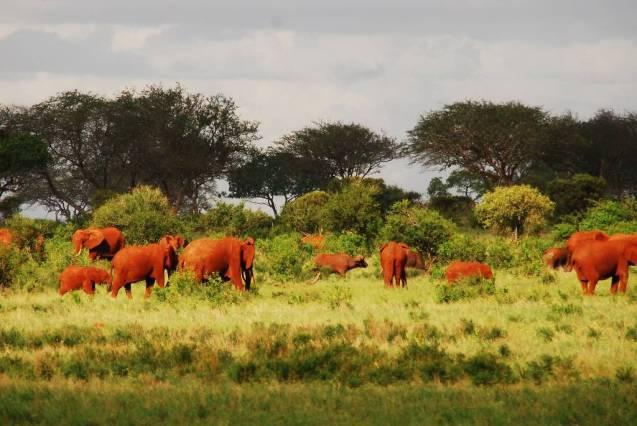red elephant elephants tsavo kenya africa 12