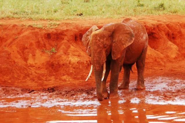 red elephant elephants tsavo kenya africa 17