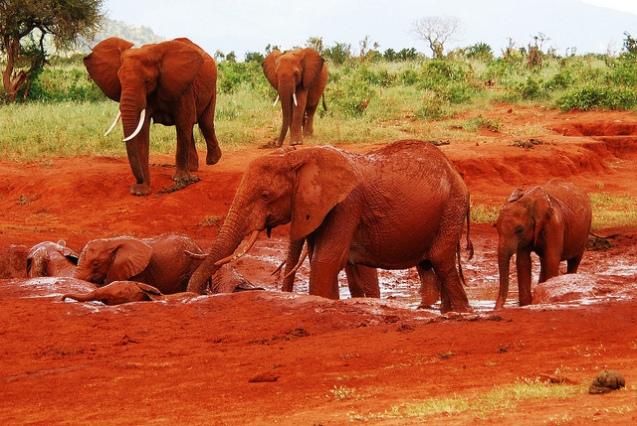 red elephant elephants tsavo kenya africa 2