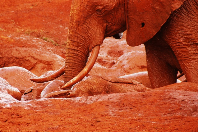 red elephant elephants tsavo kenya africa 4