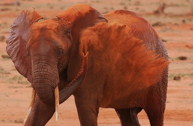 red elephant elephants tsavo kenya africa 5
