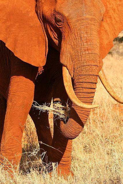 red elephant elephants tsavo kenya africa 6