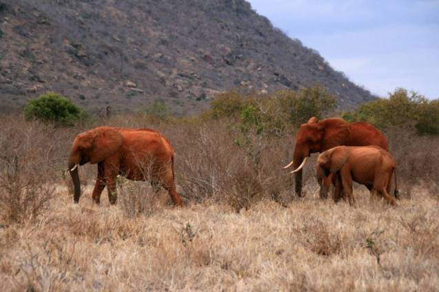 red elephant elephants tsavo kenya africa 7