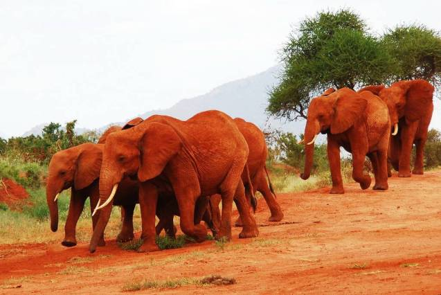 red elephant elephants tsavo kenya africa 8
