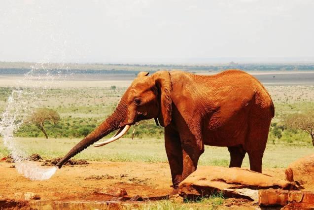 red elephant elephants tsavo kenya africa 9