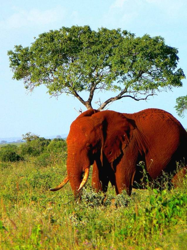 red elephant elephants tsavo kenya africa